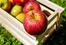 Recrutement de 100 saisonniers pour la cueillette des pommes à Abbeville